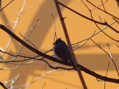 Tufted Titmouse (Trackside Gorilla) Tags: tuftedtitmouse bird baeolophusbicolor