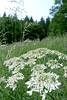 Gierisch I (claudipr0) Tags: ferien holydays vacances pfalz rheinlandpfalz birkenfeld sauerbrunnen feldblumen lupinie giersch