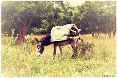 Moroccan Donkey (JERRY TAHA PHOTOGRAPHY) Tags: animal animalplanet donkey mule horse spring ezel travel traveler travelling traveller jerrytahaproductions jerrytaha jerrytahatravel marokko morocco maroc marocain wanderlust travelingaroundtheworld worldtravel world