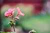 Pink and Beautiful! (BGDL) Tags: lightroomcc nikond7000 nikkor50mm118g bgdl niftyfifty garden geranium flower petals bokeh week25 weeklytheme flickrlounge