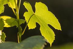 Vines (bertrandwaridel) Tags: 2018 echallens june spring switzerland vaud leaves plant vine vines vineyard suisse