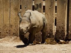 Charging Lulu (mjcarsonphoto) Tags: clevelandmetroparks zoo wildlife blackrhinoceros