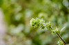 About To Flower!! (BGDL) Tags: lightroomcc nikond7000 nikkor50mm118g bgdl niftyfifty plant budding garden bokeh week25 weeklytheme flickrlounge