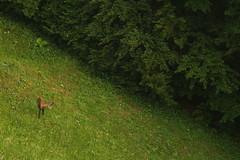 "Chamois ""Explored"" (Derbyshire Harrier) Tags: 2018 june naturetrek grassland forest romania transylvania nationalparkofpiatracraiului magura chamois explore explored"
