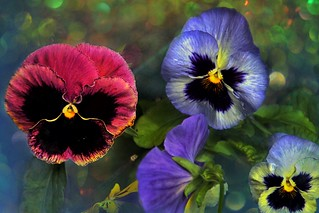 Sonnenberg Gardens & Mansion Historic Park ~  Pansies ~ Canandaigua NY