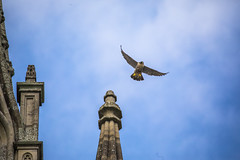 Peregrine Falcon (Paul M Loader) Tags: peregrinefalcon chichestercathedral canon eos 5d mark iv 150600mm f563 dg os hsm | sports 014