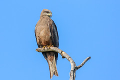 Black Kite (Janis May) Tags: birdsofprey blackkite darwin topend eastpoint