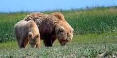 A Teaching Moment (OJeffrey Photography) Tags: cub sow grizzlybear grizzlies alaskanbrownbear katmainationalparkandpreserve katmai nationalpark alaska ak panorama pano ojeffrey ojeffreyphotography jeffowens nikon d500