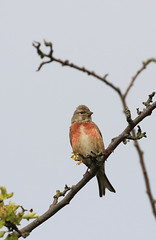 Male Common Linnet (themadbirdlady) Tags: passeriformes fringillidae cardueliscannabina commonlinnet southalloans8790