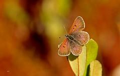 Cuivré des tourbières / Bog Copper (alainmaire71) Tags: insect lepidoptera lépidoptère papillon butterfly lycaenidae lycaenaepixanthe cuivrédestourbières bogcopper nature quebec canada bokeh
