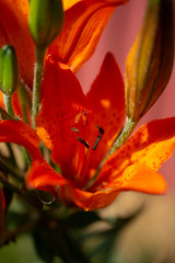 Tiger lily (tanjuska_88) Tags: midsummer finland