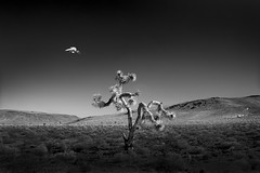 Harbinger No. 26 www.ColeThompsonPhotography.com (Cole Thompson) Tags: joshuatree desert deathvalley photooftheday colethompsonphoto colethompson cole cloud solitarycloud solocloud solitary solo harbinger photoart photography photo fineartphoto fine artwork art