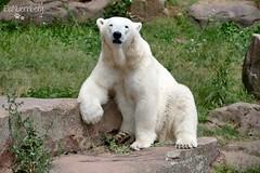 Vera - Charlotte - Eisbären - Tiergarten Nürnberg (ElaNuernberg) Tags: eisbärvera eisbärcharlottealiaslottchen tiergartennürnberg nurembergzoo zoo zooanimals zootiere eisbär polarbear ursusmaritimus ourspolaire orsopolare ijsbeer isbjorn niedźwiedźpolarny jääkaru