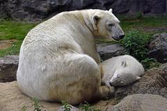 Nanook (Michael Döring) Tags: gelsenkirchen bismarck zoomerlebniswelt zoo afs70200 d800 michaeldöring