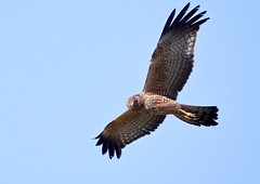 Spotted Harrier (James_Preece) Tags: spottedharrier accipitridae m43 circusassimilis