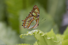 Butterfly 2018-54 (michaelramsdell1967) Tags: butterfly butterflies nature macro beauty beautiful green animal animals insect insects vivid vibrant upclose closeup leaf bug bugs bokeh pretty lovely delicate fragile wing wings garden summer malachite detail zen