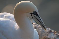 Goldenhour Gannet (EmPhoto.) Tags: uk rspbbempton eastyorkshire gannet wild seabird goldenhour portrait emmiejgee wildaboutnature canoneos70d tamron150600mm uncroppedimagefromrawfile morusbassanus