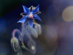 Attack of the killer plant #2 (zdm69) Tags: zdm69 olympus omd em1 zuiko 50mm macro makro nahaufnahme closeup nature flower rain drops greatphotographers