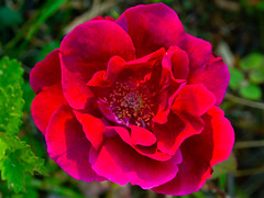 A red rose (Raoul Pop) Tags: garden summer stigma flowers plants anthers outdoors sunlight home evening macro red
