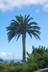 Ікод-де-лос-Вінос, Тенеріфе, Канарські острови  InterNetri  150
