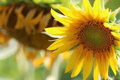 Sunflowers (dianne_stankiewicz) Tags: nature plant yellow sunshine seeds petals gold golden light
