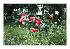 R0000026 (Jordane Prestrot) Tags: jordaneprestrot ♋ coquelicot poppy amapola jardin jardín garden