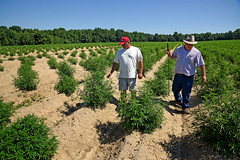 Broadway Hemp's Ryan Patterson (left) shows Harnett County extension agent Brian Parrish around his Harnett County hemp farm. (ncsuweb) Tags: farm farming field harnettcounty hemp men males agent cals crop crops plants plant soil sunny dirt