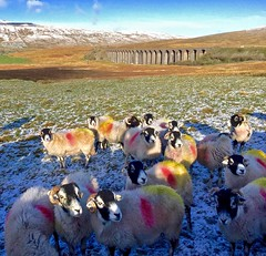 Ribblehead Viaduct and sheep. North Yorkshire. Yorkshire Dales. (elsa11) Tags: ribbleheadviaduct northyorkshire yorkshiredales yorkshire settletocarlislerailwayline threepeaks england uk trein spoorweg railway viaduct sheep