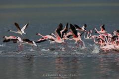 Flamingoes (Waitandshoot - Alexandre & Chloé Bès) Tags: afrique kenya safari oiseaux bird lion cat hunter serval flight baringo sun nature wild wildlife canon sigma elephant