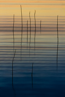 reeds in sunset