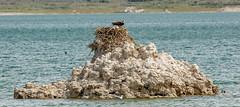 Osprey Nest on Tufa (Bob Gunderson) Tags: birds birdsofprey california eaglesandosprey monocounty monolalecountypark northerncalifornia osprey pandionhaliaetus sierras