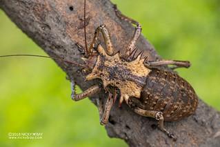 Armored katydid (Enyaliopsis petersi) - DSC_6249