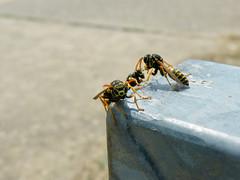 Wespen (barockschloss) Tags: weinberg vinexard stammheim franken bayern germany wespe wasp insekt insect