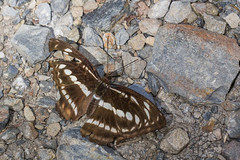 IMG_7165 (vlee1009) Tags: 2018 60d canon july nantou taiwan butterfly insects
