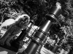 The Queen (geoffwi100) Tags: victoriabc butchartgardens blackandwhite dog cockerspaniel queen chessmen chessboard chess