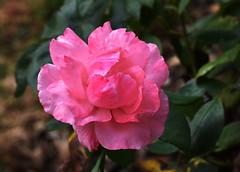 DSC_0616 Pink Rose (PeaTJay) Tags: nikond750 sigma reading berkshire lowerearley outdoors gardens flowers plants rose roses rosebuds