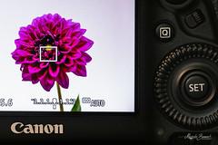 Macro Mondays - Photography Gear (Magda Banach) Tags: canon canon80d canoneos5dmarkiv macromondays photographygear sigma150mmf28apomacrodghsm colors flower macro pink plant