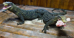 MERAUKE VARANUS SALVADORII (Tarantula Fan) Tags: merauke crocodile monitor lizards varanus salvadorii