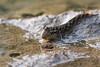 Barred Mudskipper in Bali - 1 (Gomen S) Tags: animal wildlife nature bali indonesia 2018 nikon d500 fish 80400mm afternoon mangrove summer