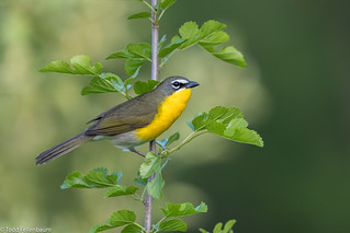 CA3I5735-Yellow-breasted Chat