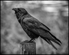 Regal Raven (59roadking - Jim Johnston) Tags: ifttt 500px avian bird ornithology monochrome raven corvid animal wildlife wyoming