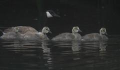 Nature Watch- San Luis Creek (Atascaderocoachsam) Tags: brantacanadensis canadagoose