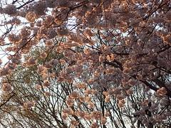 P3242899 (Dr. Fieldgood) Tags: washington dc national cherry blossom festival spring flowers mall