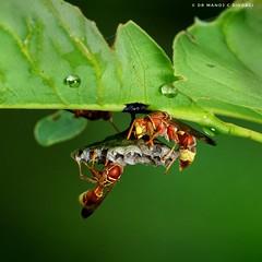 Paper wasps tending to their nest. (MCSindagi) Tags: sony sonyrx10iv sonyrx10m4 bangalore bengaluru wasp wasps paperwasps nest karnataka macro telemacro godox tt685s