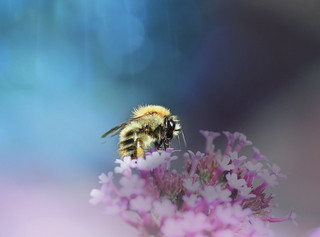 Just a bumblebee being bussy