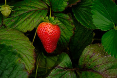 Contrasting berry and leaves! (vasanthmp) Tags: fruits contrast strawberry farms