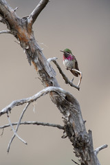 Clarke_180619_4984.jpg (www.raincoastphoto.com) Tags: birds stellulacalliope hummingbirds birdsofnorthamerica birdsofcanada calliopehummingbird birdsofbritishcolumbia