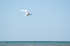 Tern (hmthelords) Tags: