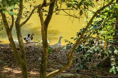 South Carolina Botanical Garden_1101 (smack53) Tags: smack53 clemson clemsoncollege southcarolina southcarolinabotanicalgarden trees scenic outside outdoors water summer summertime nikon d3100 nikond3100 birds ducks