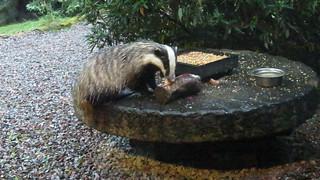 Badger snacking